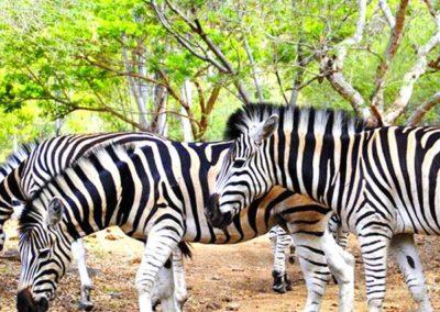 Le parc animalier de Casela Ile Maurice