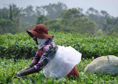 Usine de thé Bois Chéri Ile Maurice